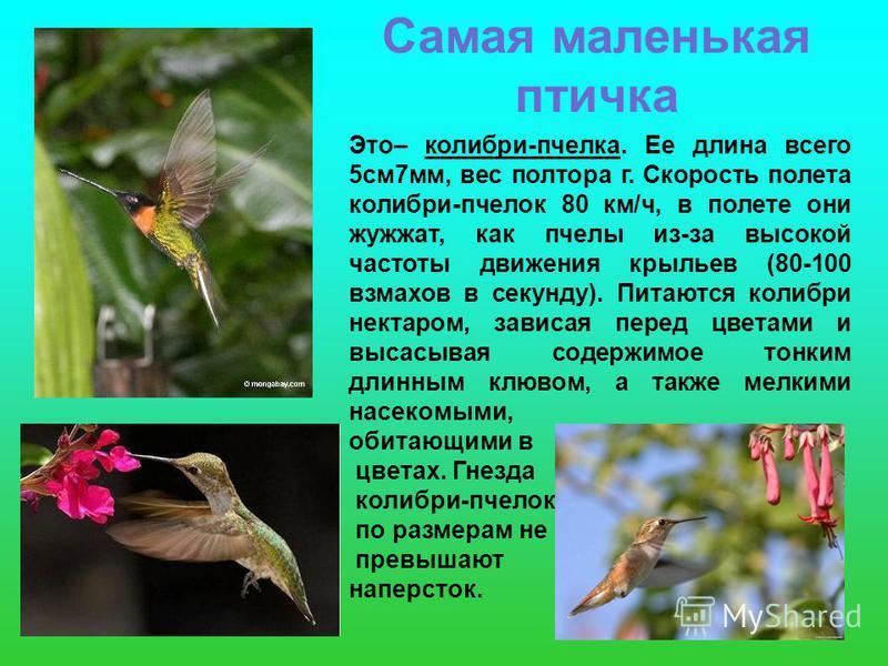 Самая маленькая птичка Это– колибри-пчелка. Ее длина всего 5 см 7 мм, вес полтора г. Скорость полета колибри-пчелок 80 км/ч, в полете они жужжат, как пчелы из-за высокой частоты движения крыльев (80-100 взмахов в секунду). Питаются колибри нектаром,