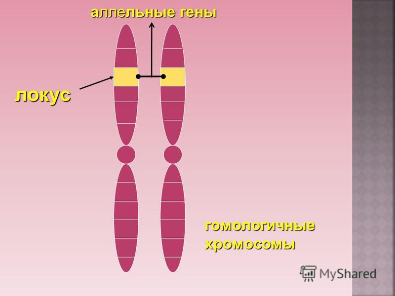 гомологичные хромосомы локус аллельные гены