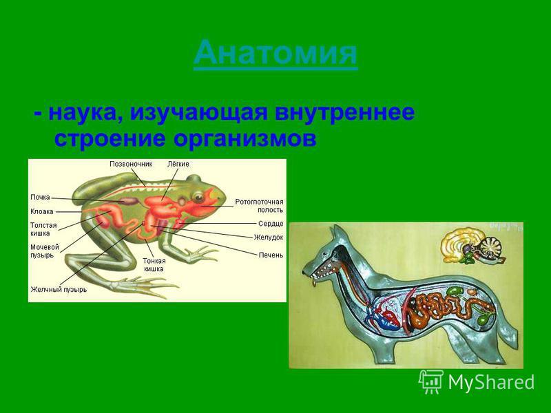 Анатомия - наука, изучающая внутреннее строение организмов