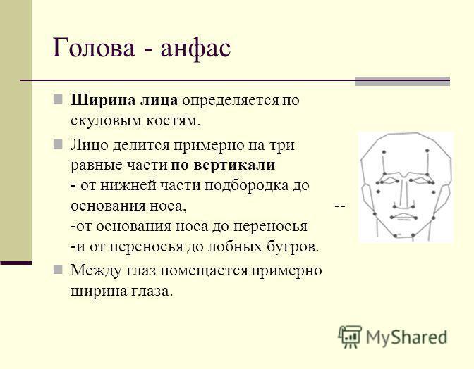 Голова - анфас Ширина лица определяется по скуловым костям. Лицо делится примерно на три равные части по вертикали - от нижней части подбородка до основания носа, -- -от основания носа до переносья -и от переносья до лобных бугров. Между глаз помещае