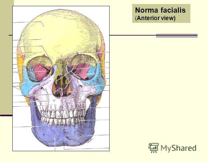 Norma facialis (Anterior view)