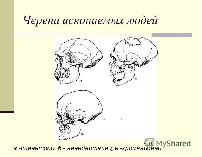 Черепа ископаемых людей а -синантроп; 6 - неандерталец; в -кроманьонец