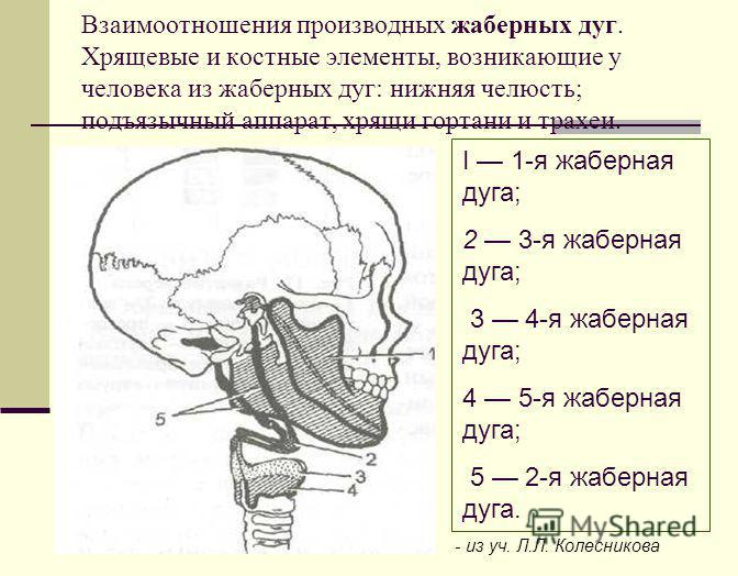 Взаимоотношения производных жаберных дуг. Хрящевые и костные элементы, возникающие у человека из жаберных дуг: нижняя челюсть; подъязычный аппарат, хрящи гортани и трахеи. I 1-я жаберная дуга; 2 3-я жаберная дуга; 3 4-я жаберная дуга; 4 5-я жаберная