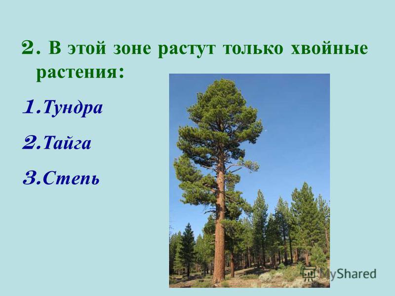 2. В этой зоне растут только хвойные растения : 1. Тундра 2. Тайга 3. Степь