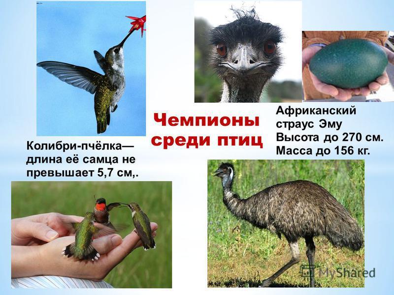 Колибри-пчёлка длина её самца не превышает 5,7 см,. Африканский страус Эму Высота до 270 см. Масса до 156 кг. Чемпионы среди птиц