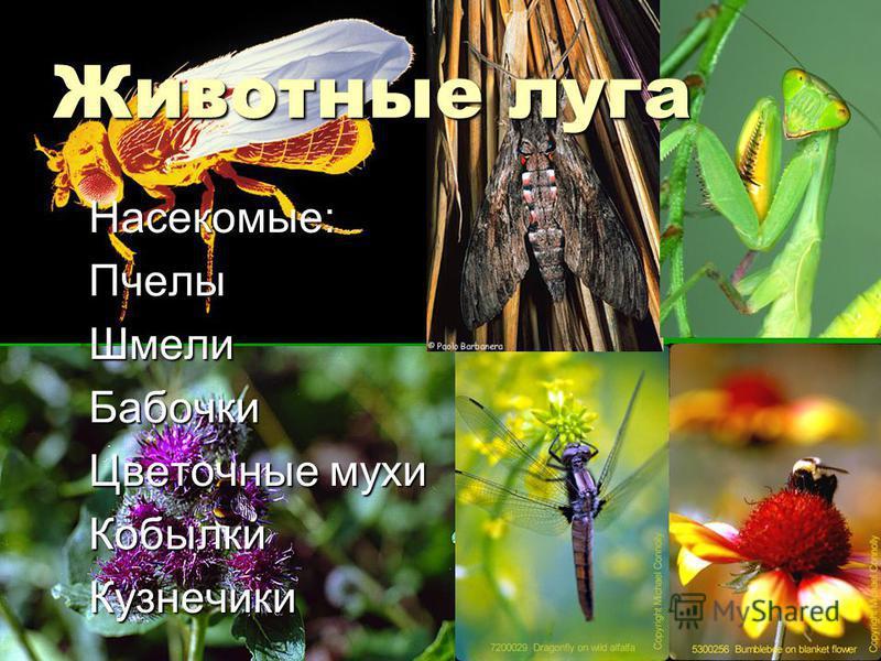 Животные луга Насекомые:Пчелы ШмелиБабочки Цветочные мухи Кобылки Кузнечики