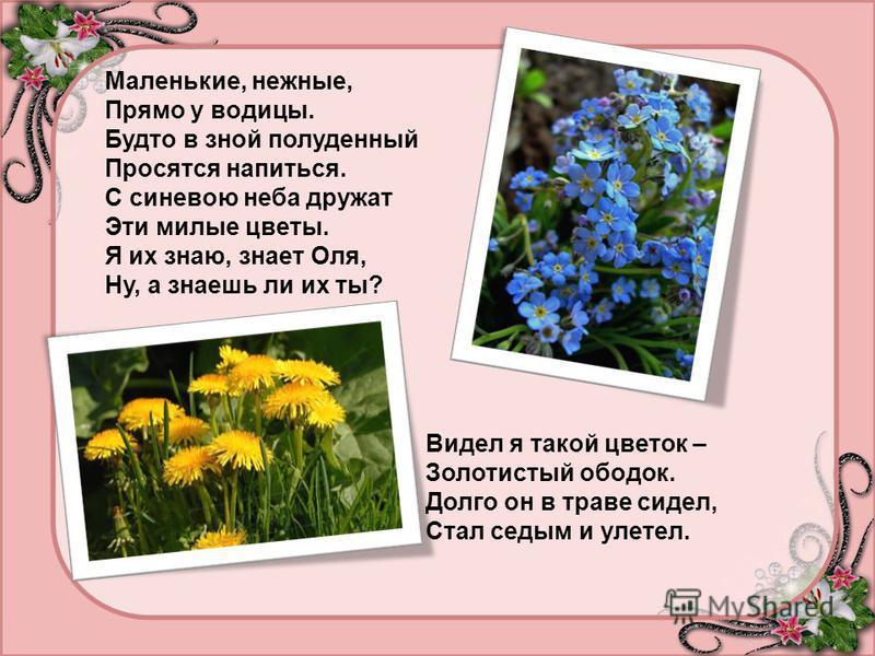 Маленькие, нежные, Прямо у водицы. Будто в зной полуденный Просятся напиться. С синевою неба дружат Эти милые цветы. Я их знаю, знает Оля, Ну, а знаешь ли их ты? Видел я такой цветок – Золотистый ободок. Долго он в траве сидел, Стал седым и улетел.