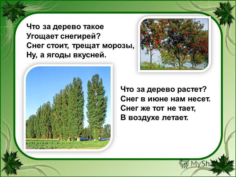 Что за дерево такое Угощает снегирей? Снег стоит, трещат морозы, Ну, а ягоды вкусней. Что за дерево растет? Снег в июне нам несет. Снег же тот не тает, В воздухе летает.