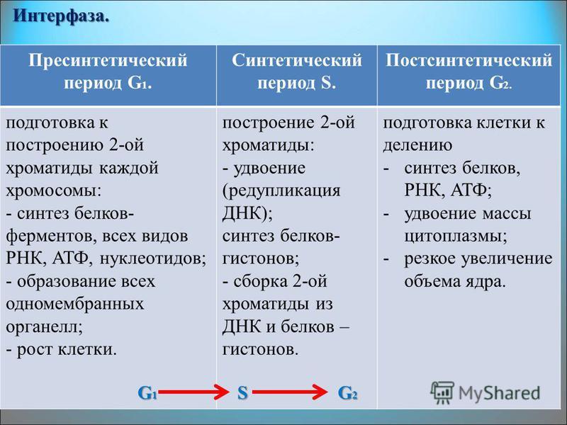 Интерфаза. Пресинтетический период G 1. Синтетический период S. Постсинтетический период G 2. подготовка к построению 2-ой хроматиды каждой хромосомы: - синтез белков- ферментов, всех видов РНК, АТФ, нуклеотидов; - образование всех одномембранных орг