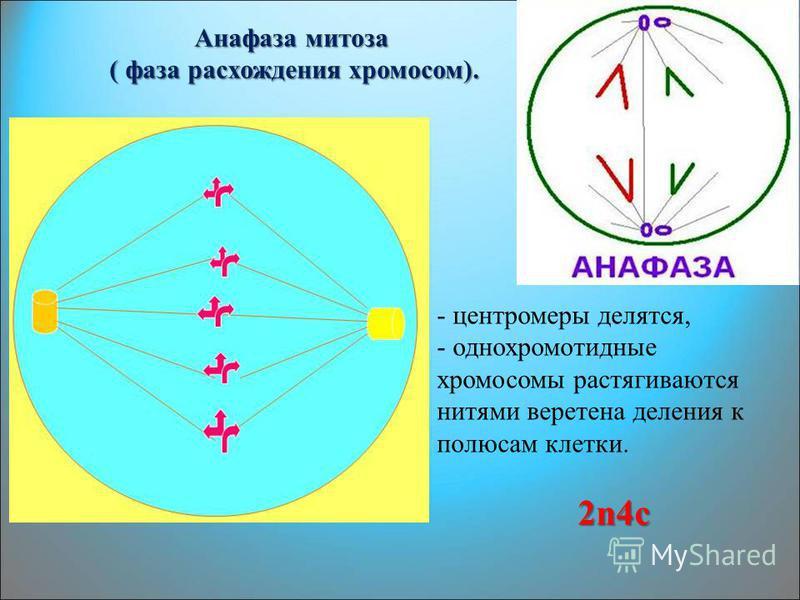 Анафаза митоза ( фаза расхождения хромосом). ( фаза расхождения хромосом). - центромеры делятся, - однохромотидные хромосомы растягиваются нитями веретена деления к полюсам клетки. 2n4c