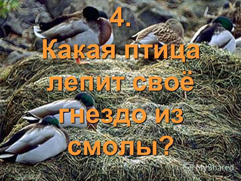 4. Какая птица лепит своё гнездо из смолы?