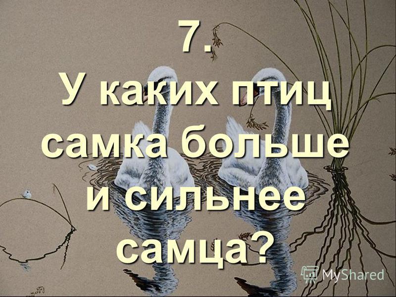 7. У каких птиц самка больше и сильнее самца?