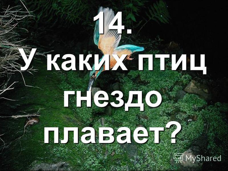 14. У каких птиц гнездо плавает?