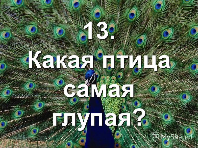 13. Какая птица самая глупая?