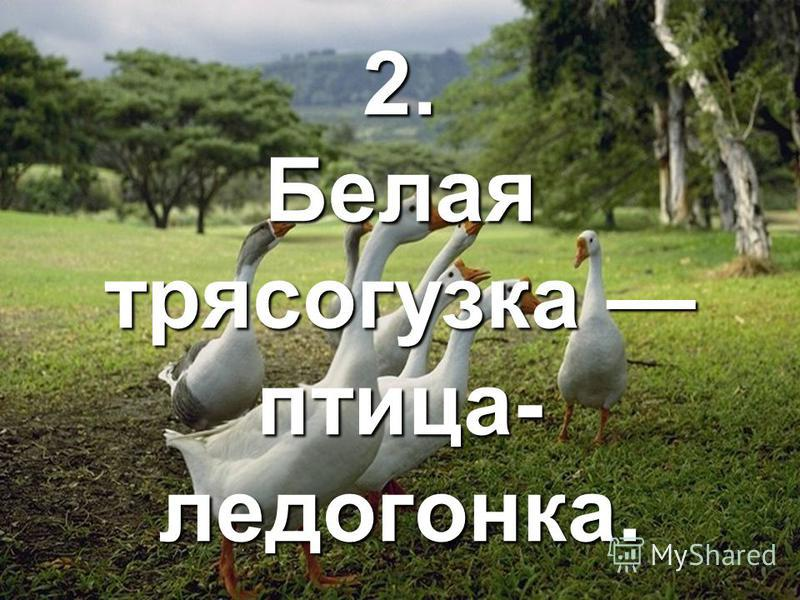 2. Белая трясогузка птица- медогонка.