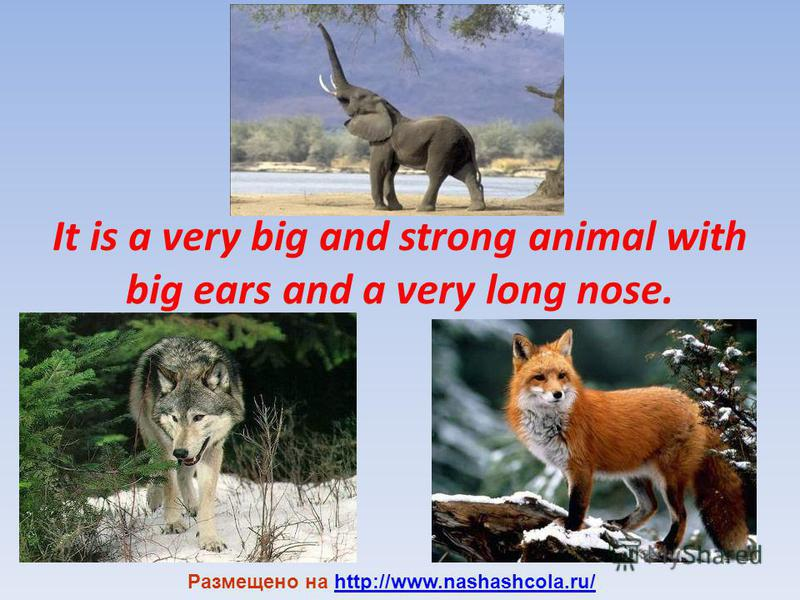 It is a very big and strong animal with big ears and a very long nose. Размещено на http://www.nashashcola.ru/http://www.nashashcola.ru/