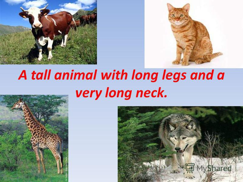 A tall animal with long legs and a very long neck.
