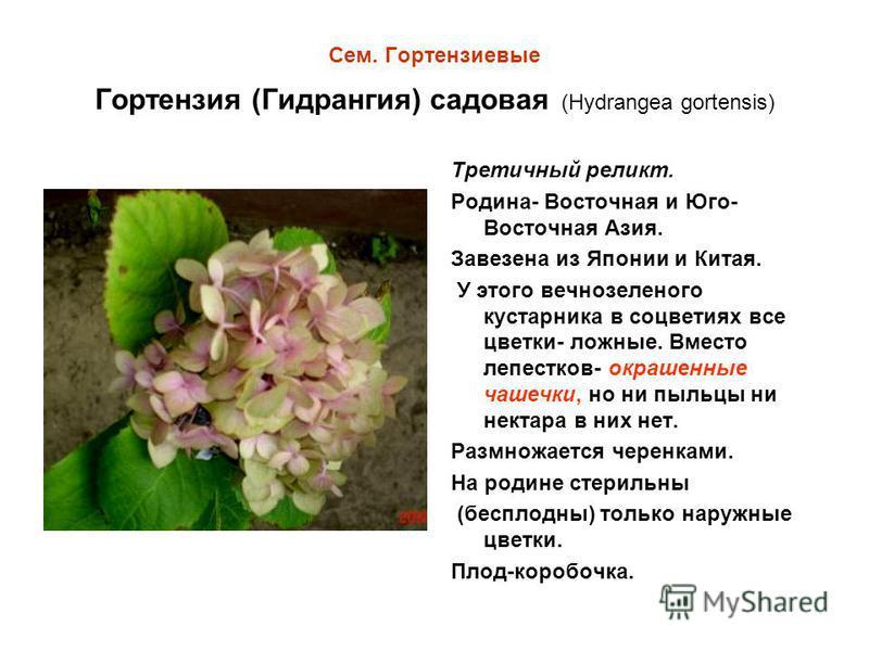 Сем. Гортензиевые Гортензия (Гидрангия) садовая (Hydrangea gortensis) Третичный реликт. Родина- Восточная и Юго- Восточная Азия. Завезена из Японии и Китая. У этого вечнозеленого кустарника в соцветиях все цветки- ложные. Вместо лепестков- окрашенные