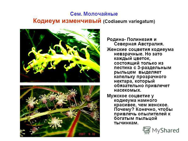 Сем. Молочайные Кодиеум изменчивый (Codiaeum variegatum) Родина- Полинезия и Северная Австралия. Женские соцветия кодиеума невзрачные. Но зато каждый цветок, состоящий только из пестика с 3-раздельным рыльцем выделяет капельку прозрачного нектара, ко