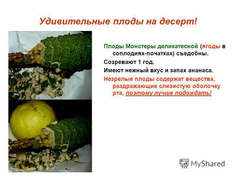 Удивительные плоды на десерт! Плоды Монстеры деликатесной (ягоды в соплодиях-початках) съедобны. Созревают 1 год. Имеют нежный вкус и запах ананаса. Незрелые плоды содержат вещества, раздражающие слизистую оболочку рта, поэтому лучше подождать!