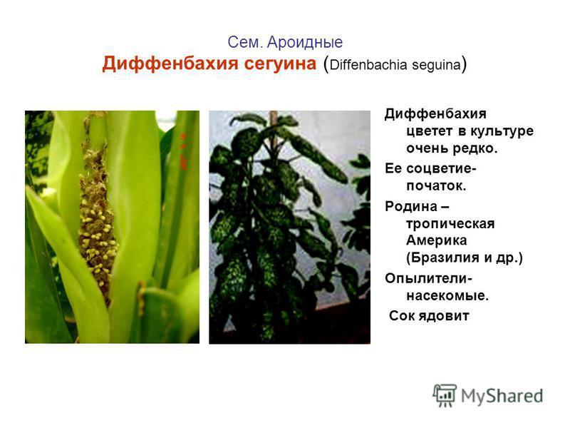 Сем. Ароидные Диффенбахия сегуина ( Diffenbachia seguina ) Диффенбахия цветет в культуре очень редко. Ее соцветие- початок. Родина – тропическая Америка (Бразилия и др.) Опылители- насекомые. Сок ядовит