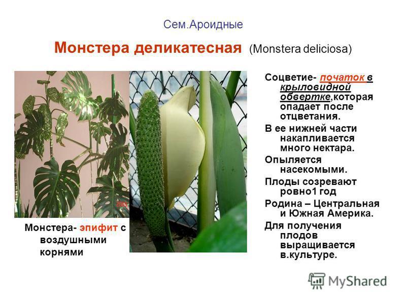 Сем.Ароидные Монстера деликатесная (Monstera deliciosa) Монстера- эпифит с воздушными корнями Соцветие- початок в крыловидной обвертке,которая опадает после отцветания. В ее нижней части накапливается много нектара. Опыляется насекомыми. Плоды созрев