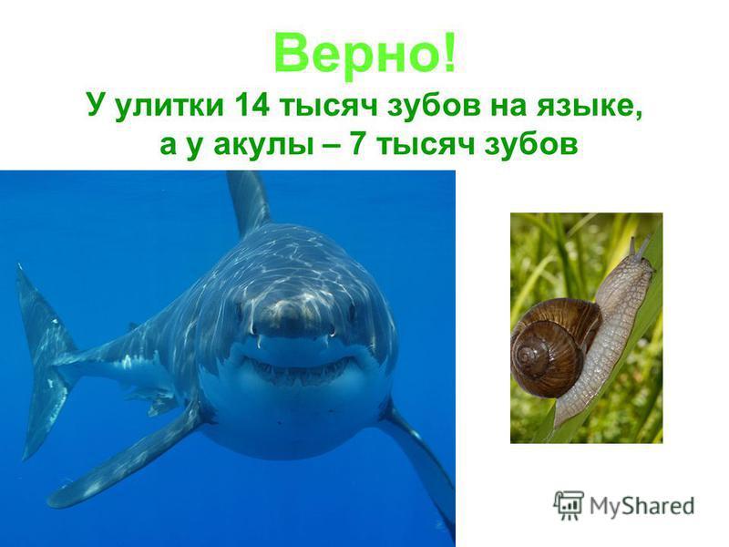 …у акулы больше зубов, чем у улитки? да нет