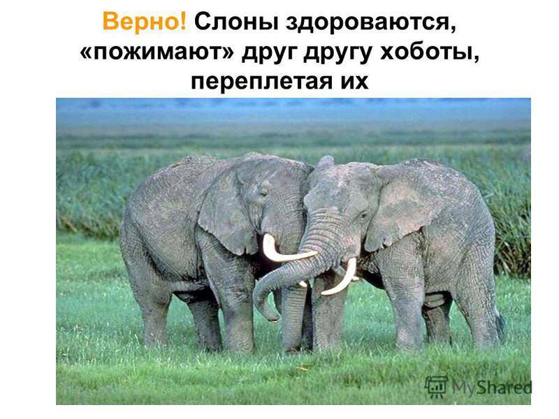 … слоны, встречаясь друг с другом, здороваются следующим образом - переплетают хоботы? да нет