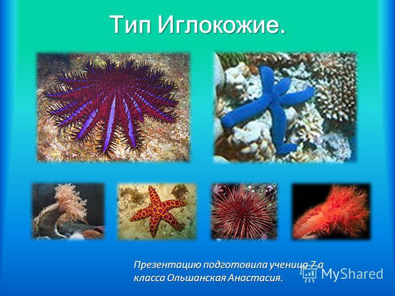 Тип Иглокожие. Презентацию подготовила ученица 7 а класса Ольшанская Анастасия.