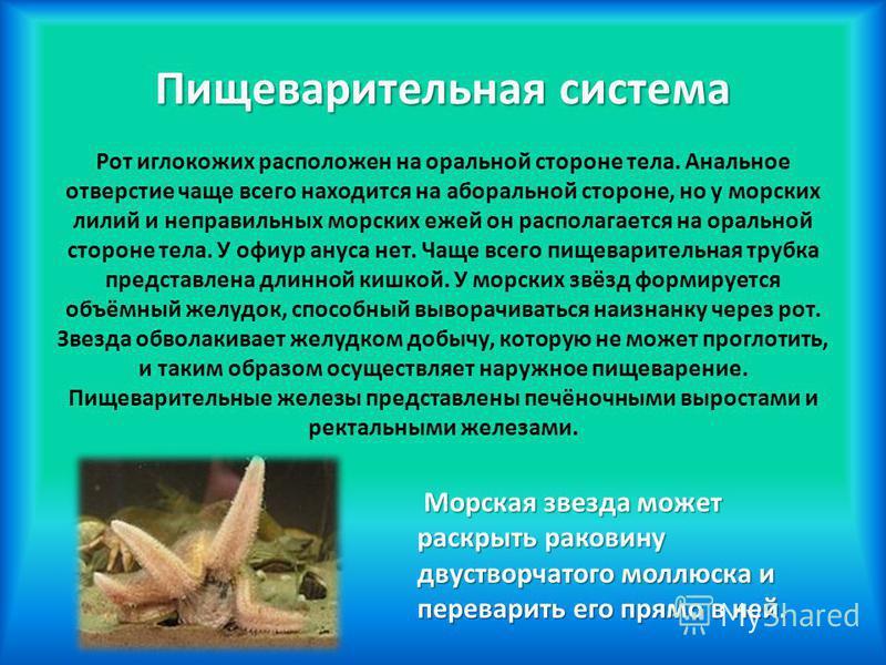Пищеварительная система Пищеварительная система Рот иглокожих расположен на оральной стороне тела. Анальное отверстие чаще всего находится на аборальной стороне, но у морских лилий и неправильных морских ежей он располагается на оральной стороне тела