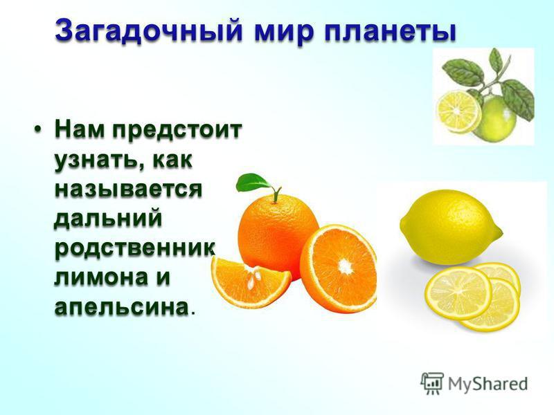 Нам предстоит узнать, как называется дальний родственник лимона и апельсина Нам предстоит узнать, как называется дальний родственник лимона и апельсина.