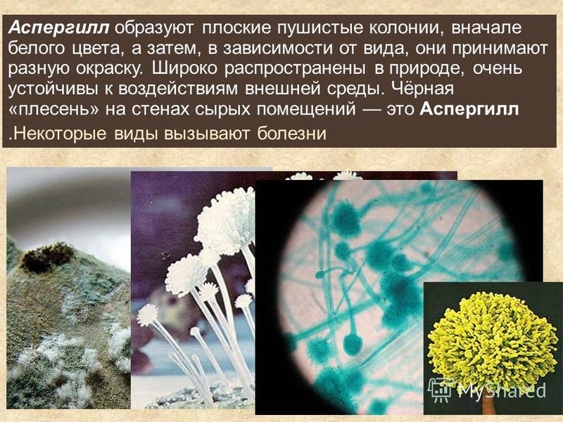 Аспергилл образуют плоские пушистые колонии, вначале белого цвета, а затем, в зависимости от вида, они принимают разную окраску. Широко распространены в природе, очень устойчивы к воздействиям внешней среды. Чёрная «плесень» на стенах сырых помещений