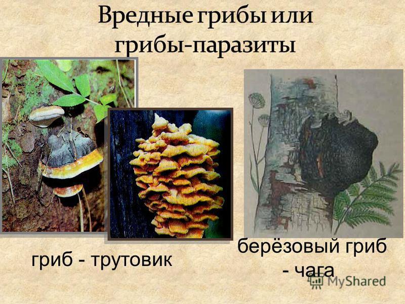 гриб - трутовик берёзовый гриб - чага