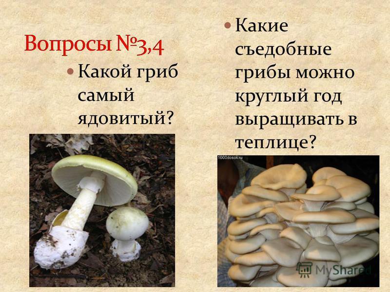 Какой гриб самый ядовитый? Какие съедобные грибы можно круглый год выращивать в теплице?