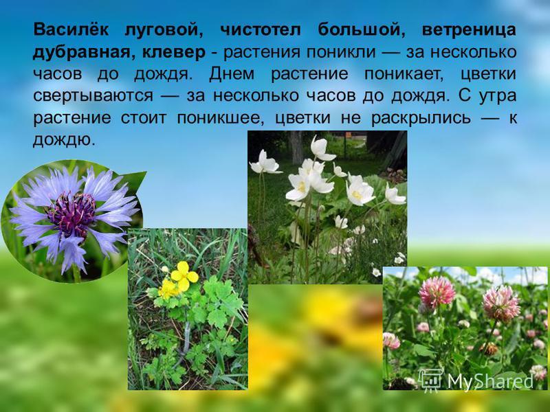 Василёк луговой, чистотел большой, ветреница дубравная, клевер - растения поникли за несколько часов до дождя. Днем растение поникает, цветки свертываются за несколько часов до дождя. С утра растение стоит поникшее, цветки не раскрылись к дождю.