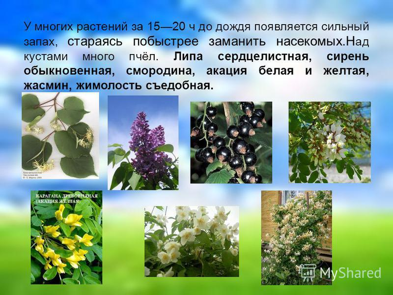 У многих растений за 1520 ч до дождя появляется сильный запах, стараясь побыстрее заманить насекомых.Н ад кустами много пчёл. Липа сердцелистная, сирень обыкновенная, смородина, акация белая и желтая, жасмин, жимолость съедобная.