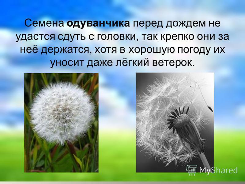 Семена одуванчика перед дождем не удастся сдуть с головки, так крепко они за неё держатся, хотя в хорошую погоду их уносит даже лёгкий ветерок.