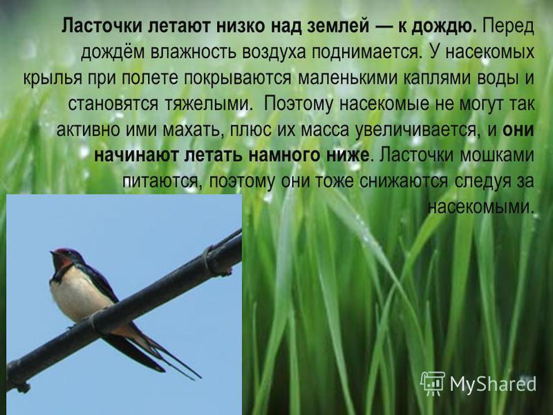 Ласточки летают низко над землей к дождю. Перед дождём влажность воздуха поднимается. У насекомых крылья при полете покрываются маленькими каплями воды и становятся тяжелыми. Поэтому насекомые не могут так активно ими махать, плюс их масса увеличивае