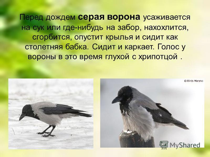 Перед дождем серая ворона усаживается на сук или где-нибудь на забор, нахохлится, сгорбится, опустит крылья и сидит как столетняя бабка. Сидит и каркает. Голос у вороны в это время глухой с хрипотцой.