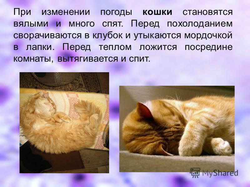 При изменении погоды кошки становятся вялыми и много спят. Перед похолоданием сворачиваются в клубок и утыкаются мордочкой в лапки. Перед теплом ложится посредине комнаты, вытягивается и спит.
