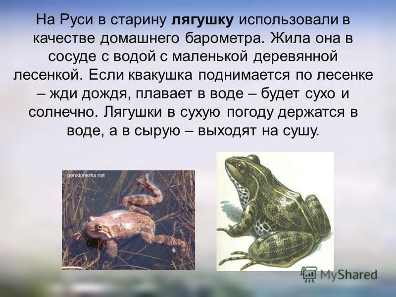 На Руси в старину лягушку использовали в качестве домашнего барометра. Жила она в сосуде с водой с маленькой деревянной лесенкой. Если квакушка поднимается по лесенке – жди дождя, плавает в воде – будет сухо и солнечно. Лягушки в сухую погоду держатс