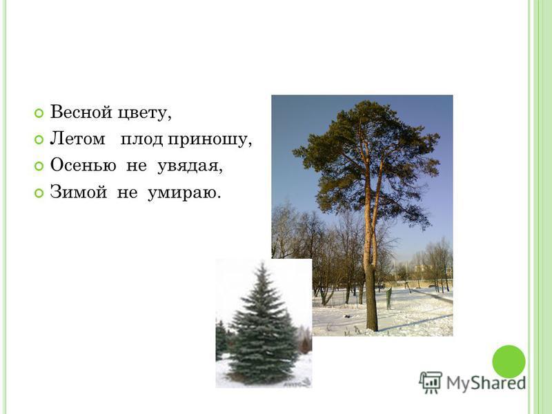 Весной цвету, Летом плод приношу, Осенью не увядая, Зимой не умираю.