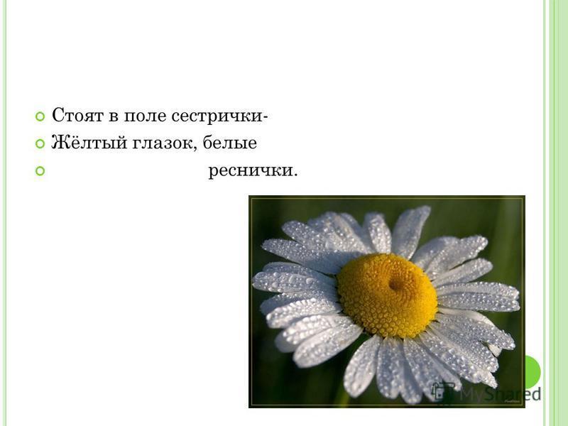 Стоят в поле сестрички- Жёлтый глазок, белые реснички.