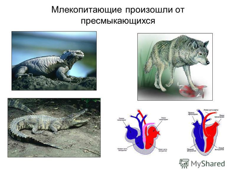 Млекопитающие произошли от пресмыкающихся