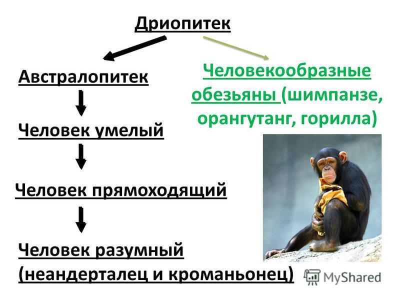 Дриопитек Австралопитек Человек умелый Человек прямоходящий Человек разумный (неандерталец и кроманьонец) Человекообразные обезьяны (шимпанзе, орангутанг, горилла)