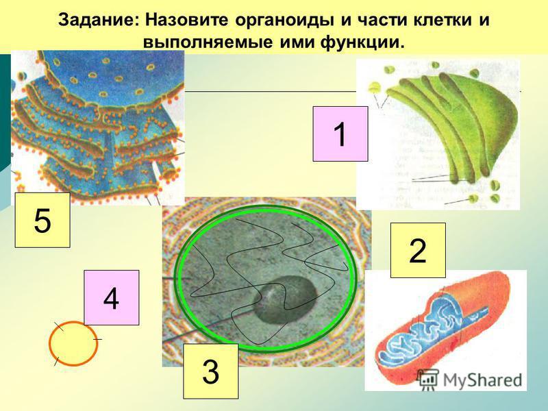 Задание: Назовите органоиды и части клетки и выполняемые ими функции. 5 4 3 2 1