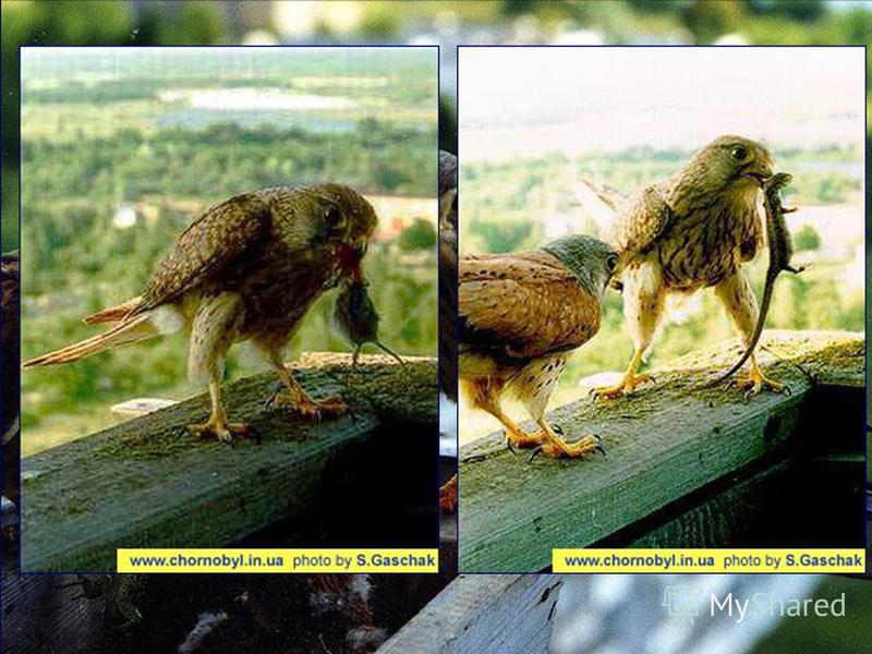 Обыкновенная пустельга – Falco tinnunculus Пустельга обыкновенная является одним из наиболее распространенных видов Соколовых в зоне отчуждения. В гнездовой период птицу можно увидеть почти на всех открытых участках зоны отчуждения. Птица часто испол