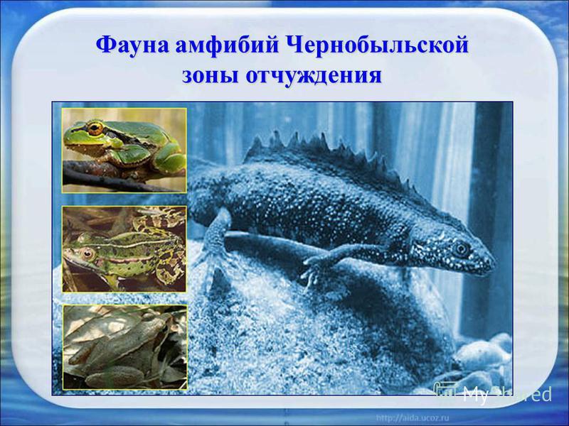 Фауна амфибий Чернобыльской зоны отчуждения Тритон обыкновенный – Triturus vulgaris (Linnaeus) Тритон гребеньчастый – Triturus cristatus (Laurenti)