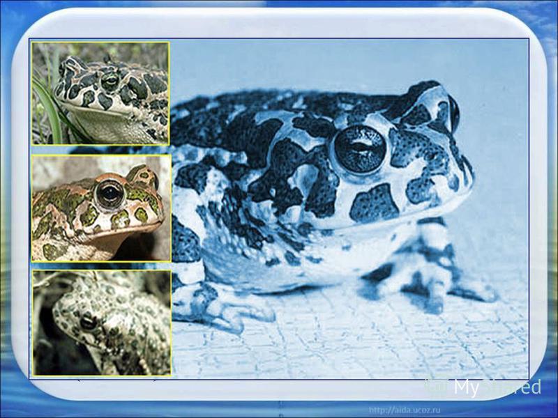 · Жерлянка краснобрюхая - Bombina bombina (Linnaeus) · Чесночница обыкновенная-Pelobates fuscus (Laurenti) · Жаба обыкновенная – Bufo bufo (Linnaeus) · Жаба зеленая – Bufo viridis (Laurenti) · Квакша обычная – Hyla arborea (Linnaeus) · Лягушка прудов
