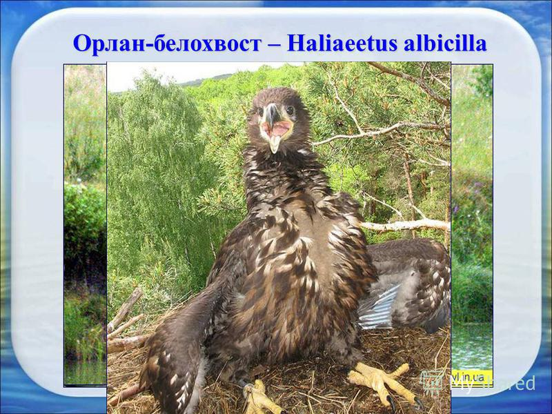 Орлан-белохвост – Haliaeetus albicilla Орлан-белохвост редкий вид хищных птиц внесенный в Красную книгу Украины. В зоне отчуждения существует много мест, оптимальных для гнездования птицы. В изобилии и кормовые ресурсы – рыба, небольшая дичь и падаль